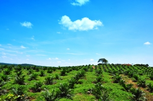 Palm plantation replaces forest