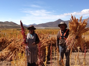 Quinoa family harvest