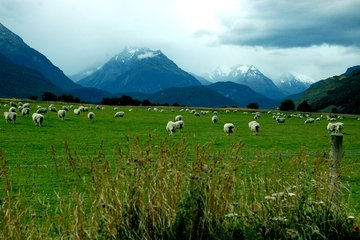 happy-new-zealand-sheep-1408627